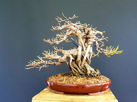 FICUS RETUSA TYGER BARK R1804
