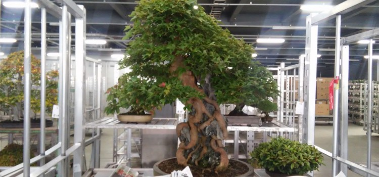 bonsai o kyoobai